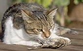 Chat européen couché reniflant un petit Passereau mort ; La découverte d'un chat domestique errant atteint de la Grippe aviaire après avoir consommé un Cygne mort du H5N1, sur l'île de Rügen en Allemagne, a montré la possible transmission de l'Oiseau au Félin.