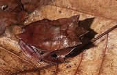 Crapaud à cornes sur des feuilles mortes Asie du sud-est