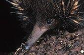 Portrait d'Echidné à nez court mangeant des termites ; Ce mammifère pond des oeufs.