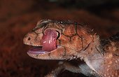 Portrait de Gecko se léchant l'oeil Australie