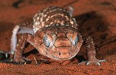 Gecko sur le sable rouge Australie