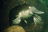 Ornithorynque nageant sous l'eau Australie ; Ce mammifère pond des oeufs et possède un bec.