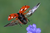 Seven-spot ladybird taking flight close-up France