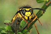 German Yellowjacket on a branch Portrait France