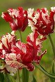 Tulipes perroquets 'Estella Rinvje'