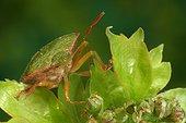 Punaise verte se nourrissant sur une feuille France