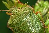 Punaise verte posée sur une feuille France