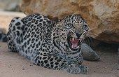 Leopard of Arabia United Arab Emirates