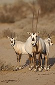 Family of Oryxs of Arabia United Arab Emirates