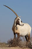 Arabian Oryx United Arab Emirates