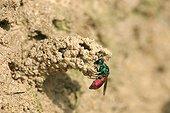 Chryside enflammée à l'entrée d'un nid d'Odynère France