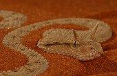 Arabian Viper with horns United Arab Emirats