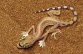 Arabian Sand Gecko United Arab Emirates