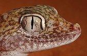 Portrait of Dune Sand Gecko United Arab Emirates