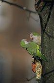 Couple de Conure veuve sur un arbre Belgique