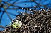 Couple de Conure veuve devant leur nid Belgique