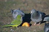 Conure veuve au milieu des Pigeons Belgique