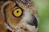 Portrait of a Desert Eagle Owl United Arab Emirates