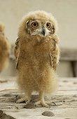 Young Desert Eagle Owl United Arab Emirates
