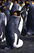 Manchot adulte incubant son oeuf France ; cliché pris en janvier 2003 à Crozet, Terres Australes et Antarctiques Françaises adulte de manchot royal incubant son oeuf