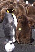 Manchot adulte avec son poussin marqué France ; cliché pris en juillet 2002 à Crozet, Terres Australes et Antarctiques Françaises adulte de manchot royal avec son poussin marqué par des scientifiques