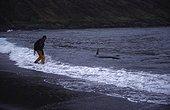Femelle Orque au bord de la plage avec un scientifique  ; cliché pris en novembre 2002 à Crozet, Terres Australes et Antarctiques Françaises scientifique approchant une orque femelle