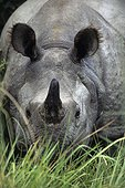 Indian Rhinoceros Chitwan NP Nepal