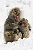 Japanese macaque Honshu Japon