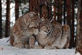 Scene of tenderness between a young Lynx and its mother
