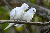 Couple of White Terns on a branch Bird-Island Seychelles