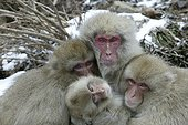 Complicity and tenderness between Japanese Macaques