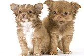 Chiots Chihuahua à poil long assis