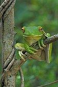 White-lipped tree frog Cape york Queensland Australia