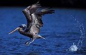 Pélican brun décollant de l'eau Llanos du Venezuela
