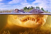Large plan of a head of American Alligator under water