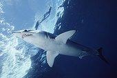 Shark swimming in the sea