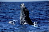 Humpback Whale leaving the head water