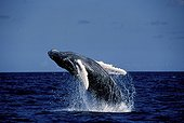 Humpback Whale  carrying out a back salto in the sea