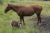 Cheval de selle et poney dans une prairie
