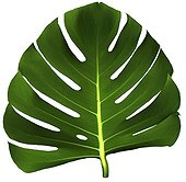 Break into leaf of Philodendron  [AT] ; studio  [AT]