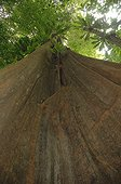 Trunk of Roucou Wood in low-angle shot in Guyanaise forest