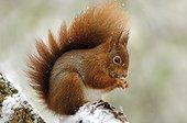 Ecureuil roux mangeant sous la neige Ile-de-France