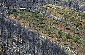 Plantation d'amandiers après un incendie de forêt Espagne