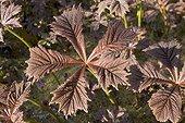 Typical dicotyledon leaf, Isle of Skye, Scotland