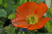 Portrait of  Iceland  poppy and crops honesty fruits