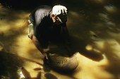 Chercheur d'or en train d'agiter sa battée Guyane française ; Cette technique d'orpaillage est artisanale.<br>Elle consiste à nettoyer la terre jusqu'à ce que les particules d'or, plus lourdes, restent au fond de la battée.<br>Mais elle sert également pour prospecter l'état du sol et voir s'il contient de l'or avant de couper les arbres et d'installer un matériel plus lourd.<br>L'orpaillage pollue l'eau des rivières du fait des rejets de boue qui asphyxient plantes et poissons, mais aussi à cause du mercure rejeté dans l'eau qui empoisonne les poissons et les indiens qui les consomment