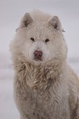 Portrait of Canadian Eskimo Dog in the Canada tundra