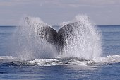 Southern Right Whale leaving the tail water Argentinian