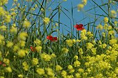 Flowers of mustard and poppies