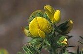 Hairy Restharrow in flower in May Greece